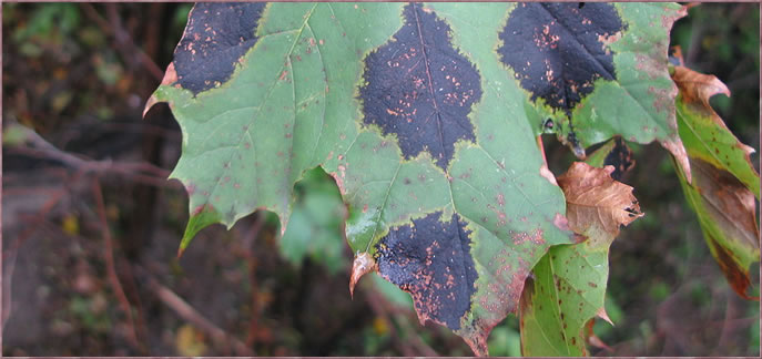 A sugar maple displaying black tar disease requiring insect and disease control services from Peerless Turfcare