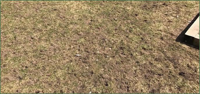 Grubs in lawn, after skunks dig for them.