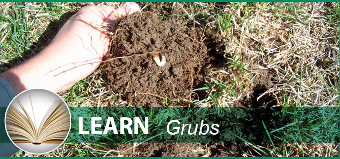 A White Grub In Dying Lawn Needs Grub Control Services From Peerless Turfcare.