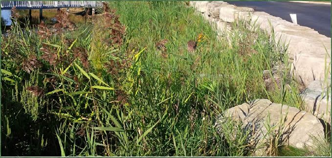 An invasive species clump of Phragmites at the edge of waterfront property.