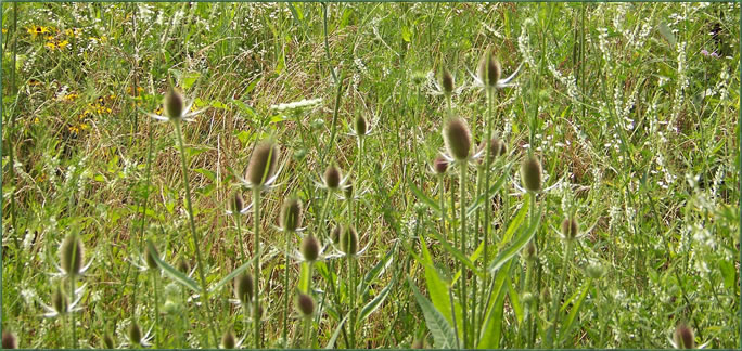 Invasive Weeds In A Field.